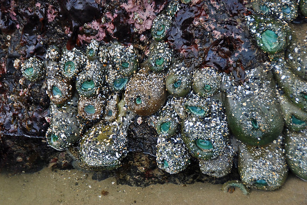 Barnacles growing on the rocks in the tidal pools near Haystack Rock.