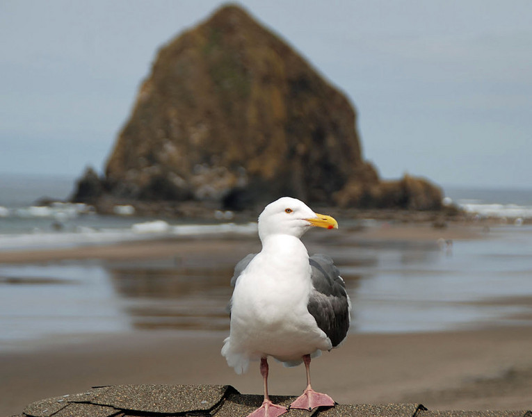 A seagull visits us at Cannon Beach, Oregon.