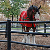 A Clydesdale at the Budweiser Brewery.