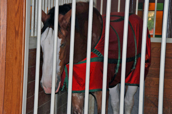 The Clydesdale stables at the Budweiser Brewery.