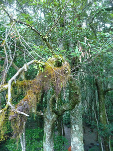 More of the lichen on the trees.