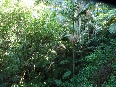 In a dominantly dry landscape there are pockets of dry rainforest with ferns, palm trees, and all.