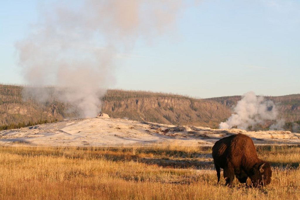 Old Faithful Geyser with Bison in the foreground, Yellowstone National Park, Wyoming.