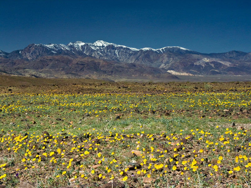 Death valley national park crosbygallery spring flowers mightylinksfo