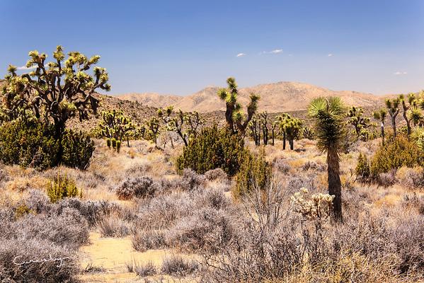Joshua Tree grove