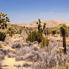 Joshua Tree grove