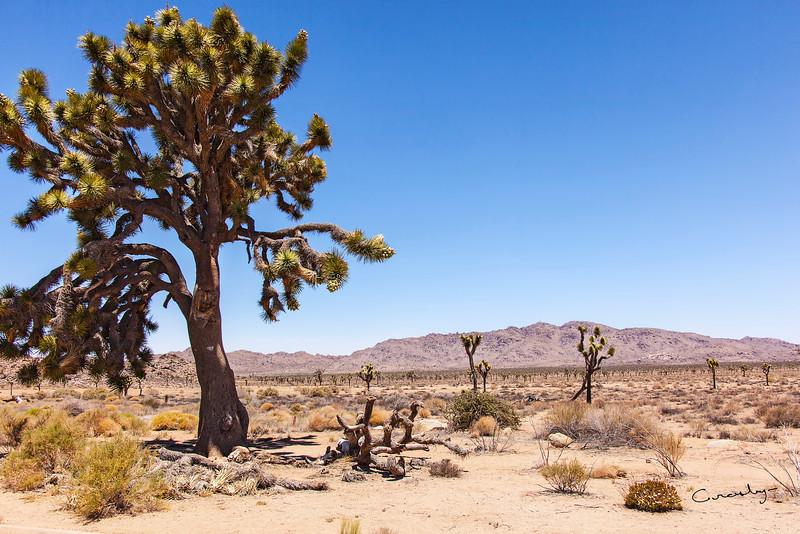 A Joshua Tree stands tall