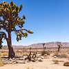 A Joshua Tree stands tall