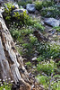 Mt. Lassen Flora