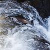 Steelhead leaping in Sol Doc Rive