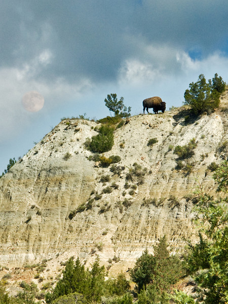 Bison on Hill