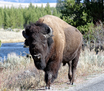 Bison are huge