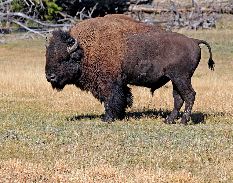"This is one of a pair of wild Buffalo grazing alongside the road next to the Yellowstone River in Yellowstone National Park.  The term ""Buffalo"" is still widely used in America despite the best efforts of experts to point out this animal is really an ""American Bison"".  Changing  ""Buffalo Bill"" Cody to ""Bison Bill"" will never happen, I think."