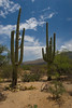 Saguaro Cactus {Carnegiea gigantea} <br /> Saguaro National Park East, AZ <br /> <br /> © WEOttinger, The Wildflower Hunter - All rights reserved<br /> For educational use only - this image, or derivative works, can not be used, published, distributed or sold without written permission of the owner.