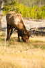 Bull Elk <br /> Yellowstone NP, WY<br /> <br /> © WEOttinger, The Wildflower Hunter - All rights reserved<br /> For educational use only - this image, or derivative works, can not be used, published, distributed or sold without written permission of the owner.
