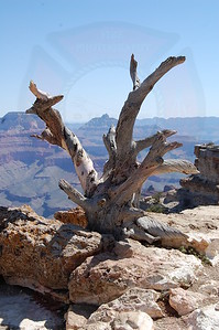 Lone Tree, Grand Canyon NP, Arizona