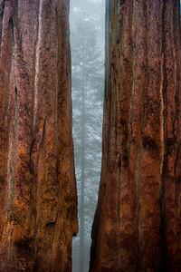Sequoias42