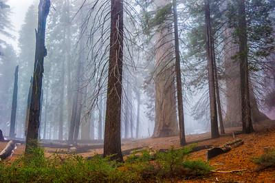 Sequoia_Pines-4