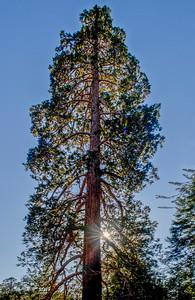 Sequoia_Pines-1