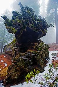 Sequoias_Roots03