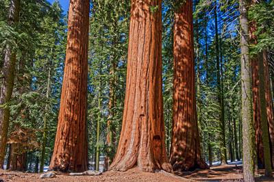 Sequoias02
