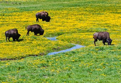 Yellowstone_Bison-24