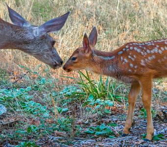 Yosemite_Deer-11
