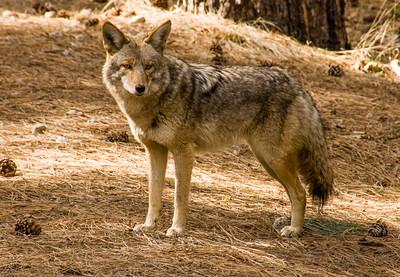 Yosemite_Coyote-1
