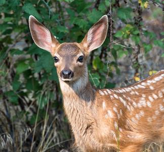 Yosemite_Deer-10