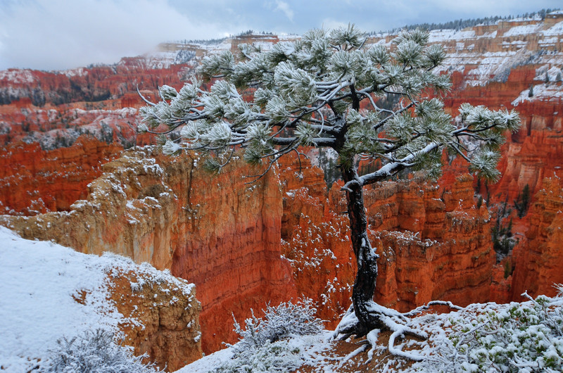 Bryce Canyon foreshadowed by a tree covered in snow.