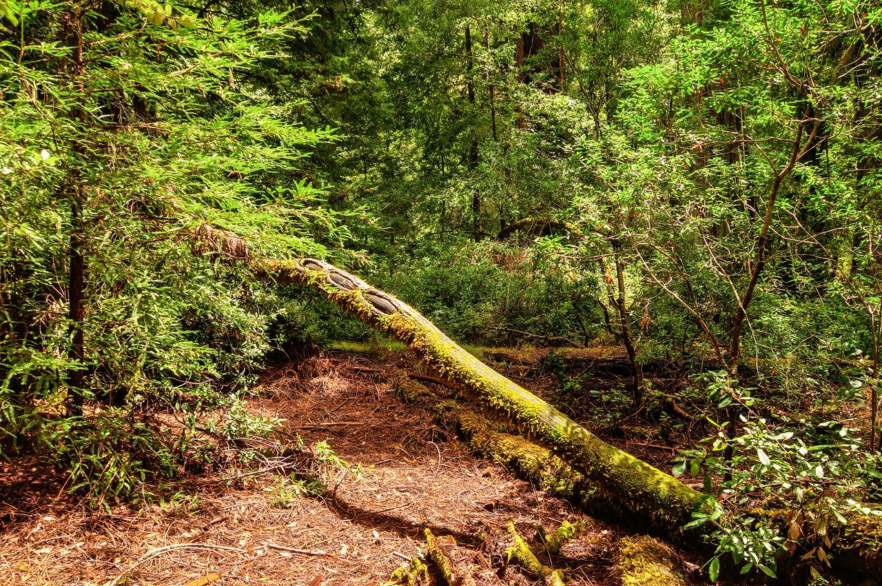 Fallen California Sequoia Tree<br /> Sequoia Trees in Big Basin Redwoods State Park