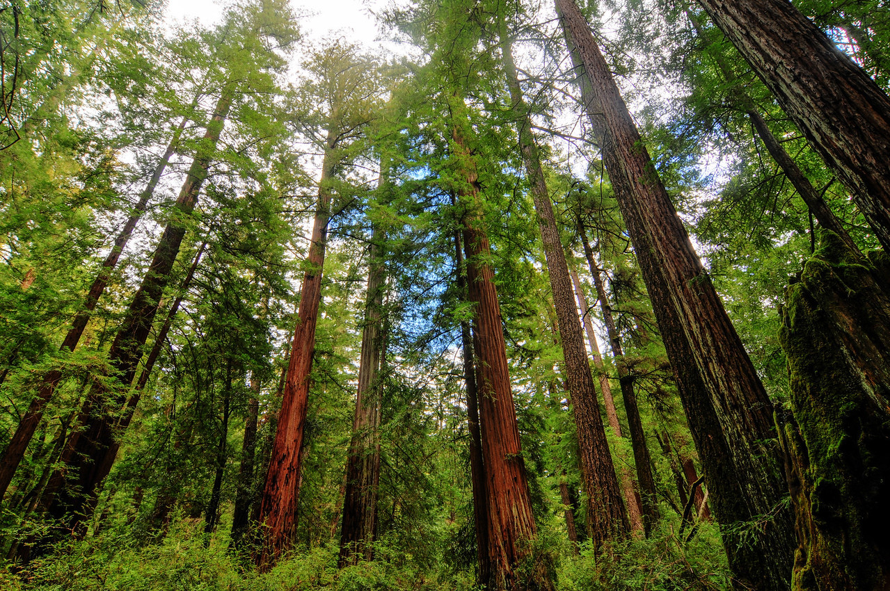 California Sequoia Trees<br /> Sequoia Trees in Big Basin Redwoods State Park
