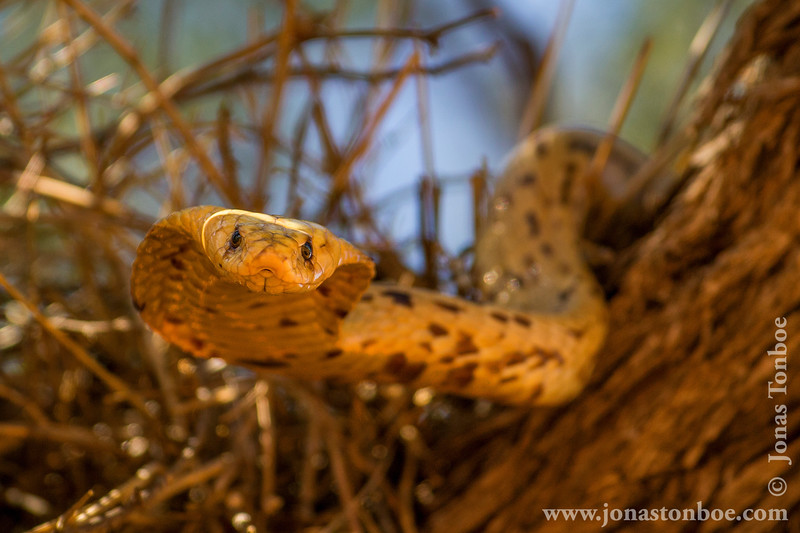 Cape Cobra aka Yellow Cobra Raiding a Sociable Weaver Nest