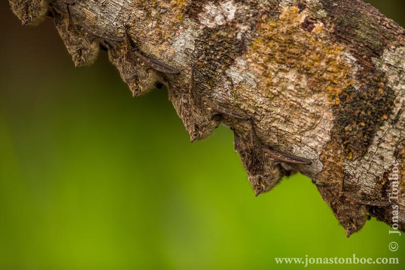 Sharp-nosed Bat