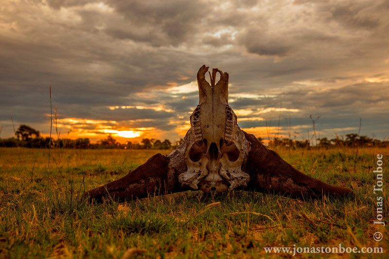 Cape Buffalo aka Southern Savanna Buffalo Skull at Sunset
