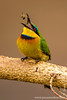Little Bee-eater Eating a Bee