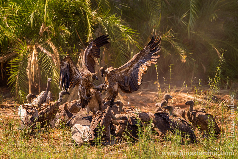 African White-backed Vulture aka White-backed Vulture at Carcass