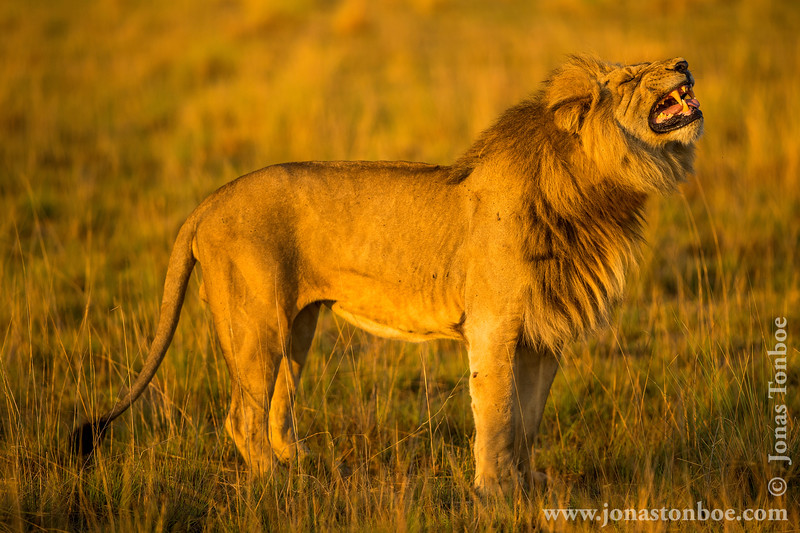 Male African Lion Exhibiting Flehmen Response
