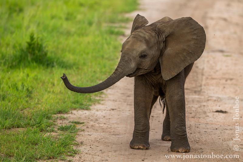 Baby African Bush Elephant