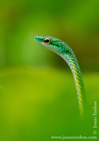 Black-skinned Parrot Snake