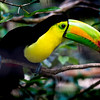Keel Billed Toucan - Wildlife in Belize