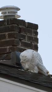 Snowy Owl_Vertical 2