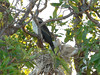 Anhinga  on its nest with several babies.