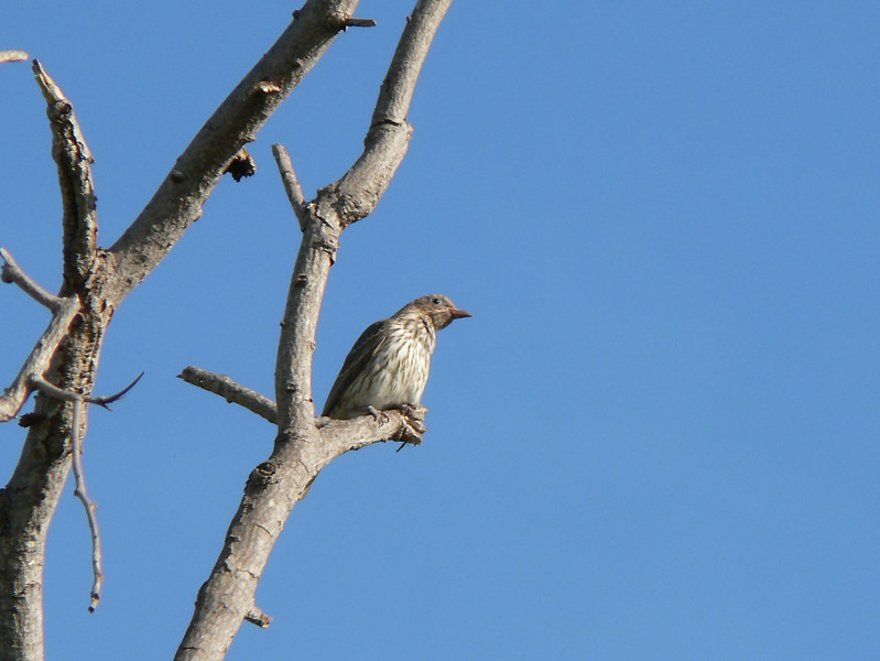 Can anyone help me identifying this bird?  Looks like a raptor, but the beak is not raptor like.