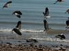 Masked lapwings taking flight at the Darwin Shoreline Park.