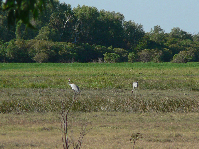Next, we had a boat trip on the Yellow Waters, a must do in Northern Kakadu.<br /> Here, two Brolgas (Australian cranes),  lovely but very shy birds.  My telephoto came in handy.