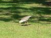Masked lapwing on the lawn.