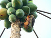 This woodpecker decided that ripe papayas are better than worms.