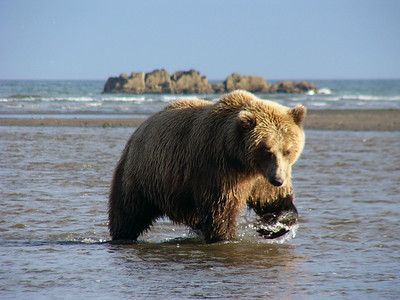 Hallo Bay, Alaska. Fishing grizzly bear_Sept 2005
