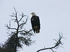 This bald eagle was sitting in a tree right near where I was taking a short hike.